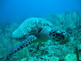 A turtle in the barrier reef off The Placencia Residences and Hotel, Placencia, Belize – Best Places In The World To Retire – International Living